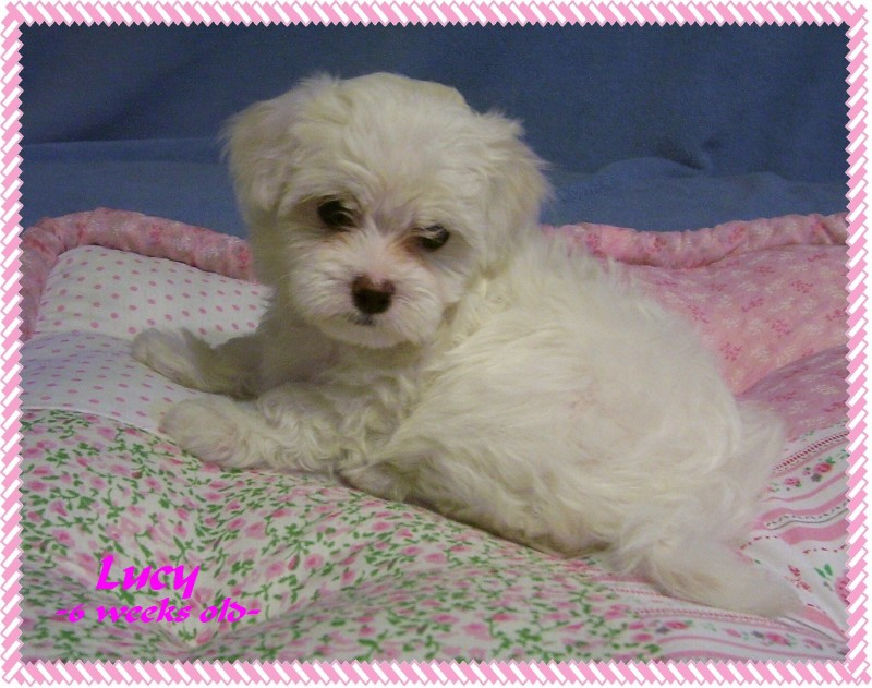 Previous Puppies Welcome To Maltipoo Furbabies