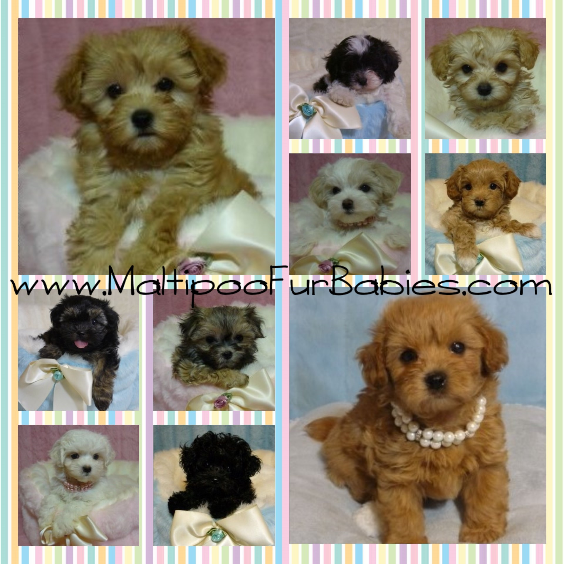 Home Welcome To Maltipoo Furbabies